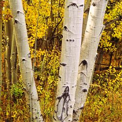 Ingredient Highlight -Aspen Bark Extract